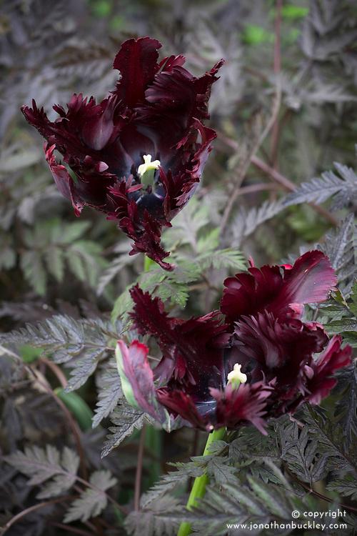 Tulipa 'Black Parrot' growing through Anthriscus sylvestris 'Ravenswing'  - Black cow parsley