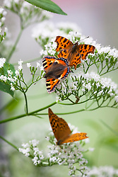 Butterflies on wild valerian. Top to bottom: Comma (Polygonia c-album),  Small Tortoiseshell (Aglais urticae L.) and male Silver washed fritillary (Argynnis paphia). Valeriana officinalis