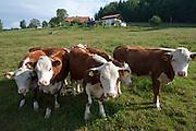 Kälber auf Weide, Lackenhäuser, Bayerischer Wald, Bayern, Deutschland | calfs on meadow, Lackenhaeuser, Bavarian Forest, Bavaria, Germany