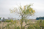 top of old partly dead weeping willow tree rural South France
