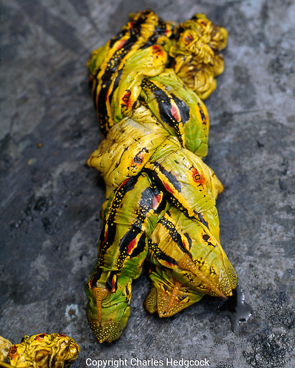 """Roasted Hyles lineata caterpillars, prepared in a traditional way  as the O'odham are believed to have done. called """"makkum"""" by the O'odham.<br /> Scaned on Hasselblad X5 Scanner, Photographic Works CD file#hedgcock644 001"""