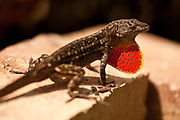 The brown anole, a non native, was introduced in southern Florida from the Caribbean decades ago. Since then, this species firmly established itself in coastal and southern regions of the U.S., often at the peril of native species, such as the beloved green anole. Houston, Texas