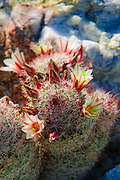 Fishhook Cactus (Mammillaria microcarpa) blooming in Plum Canyon, Anza-Borrego Desert State Park, California USA
