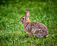 Harvey the rabbit. Backyard spring nature in new Jersey. Image taken with a Nikon D3 camera and 200 mm f/2 telephoto lens and TC-E II 2x  teleconverter (ISO 1600, 400 mm, f/4, 1/1000 sec).
