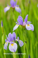63899-05216 Blue Flag Iris (Iris versicolor) in wetland, Marion Co., IL