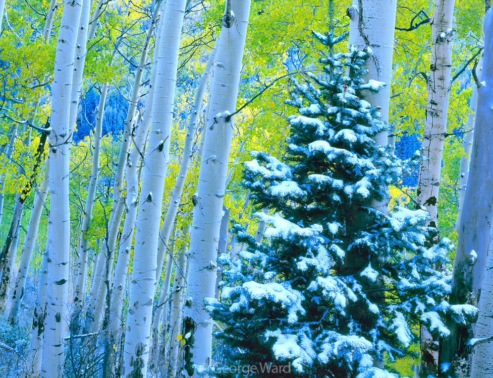 Aspen and Snow-covered Fir in the San Juan Range, Uncompahgre National Forest, Colorado