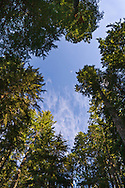 Trees in the Ohanapecosh forest towering over the trail to Silver Falls in Mount Rainier National Park, Washington State, USA