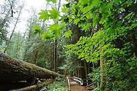 Giant fallen Douglas Fir tree along Grove of the Patriarchs Trail. Mt. Rainier National Park, WA.