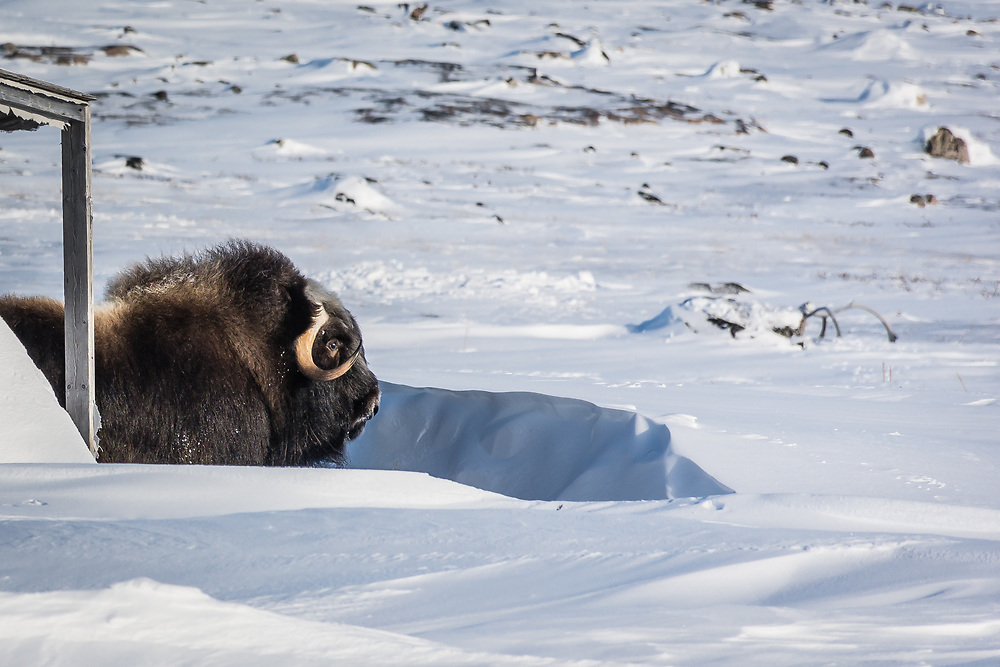 While I was riding my fatbike around Inukjuak, I made an unexpected encounter...