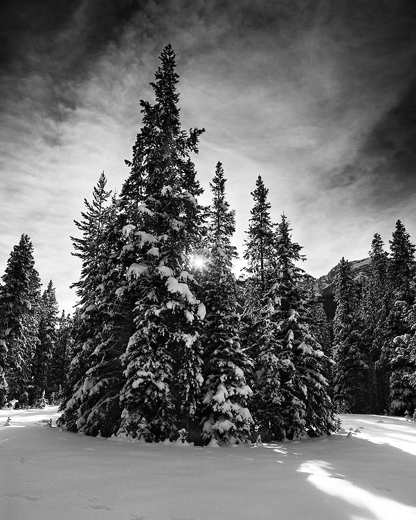 Pines in Winter, Kananaskis, AB