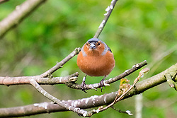 Derwent Dam car park chaffinches foraging on and around the bird feeders <br /> <br />  Copyright Paul David Drabble<br />  15th April 2019<br />  www.pauldaviddrabble.co.uk