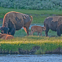 American Bison (Bison bison) cows and calves graze beside the Madison River in Yellowstone National Park, Wyoming.