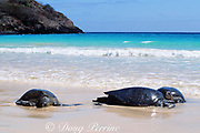 E. Pacific green (black) sea turtles, Chelonia mydas agassizi, Endangered Species, resting on beach, Floreana, Galapagos, Ecuador ( Pacific )