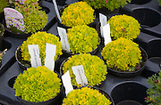 "Saxifrage ""Cloth of Gold"" pot plants in garden centre,"