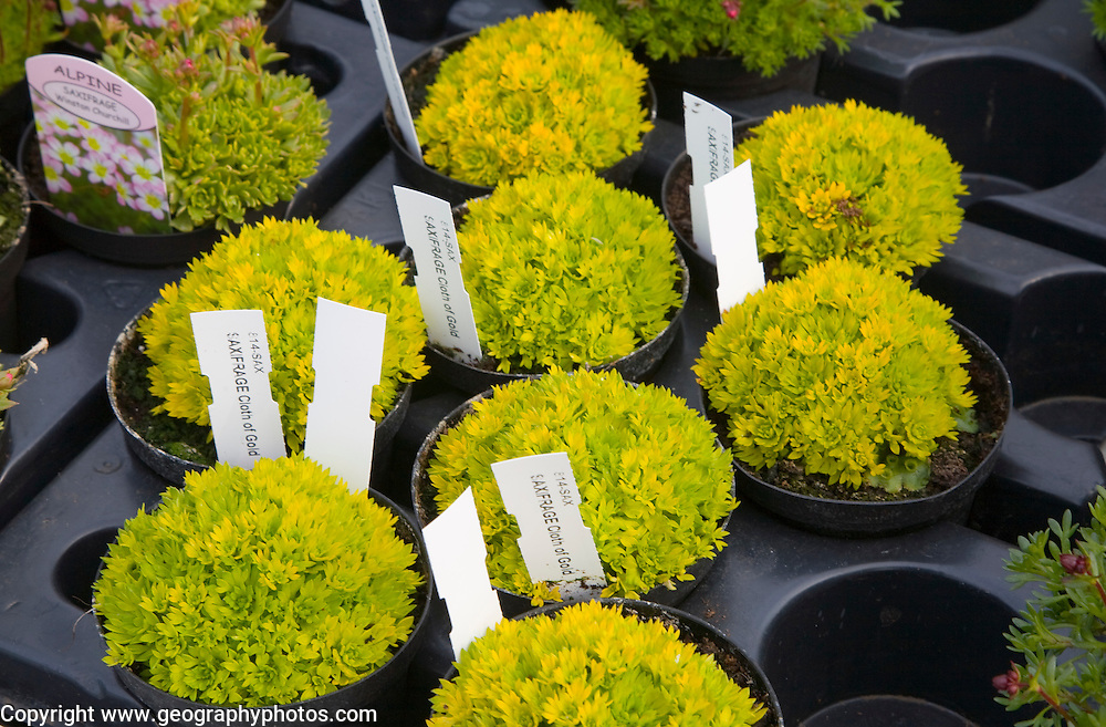 """Saxifrage """"Cloth of Gold"""" pot plants in garden centre,"""