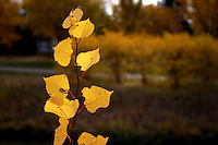Fall leaves along bank of Wascana Creek, Regina Saskatchewan