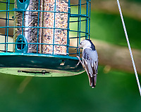 White-breasted Nuthatch. Image taken with a Nikon D810a camera and 600 mm f/4 VR lens.
