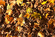 Autumn leaves on the ground in yellow and brown Truffiere de la Bergerie (Truffière) truffles farm Ste Foy de Longas Dordogne France