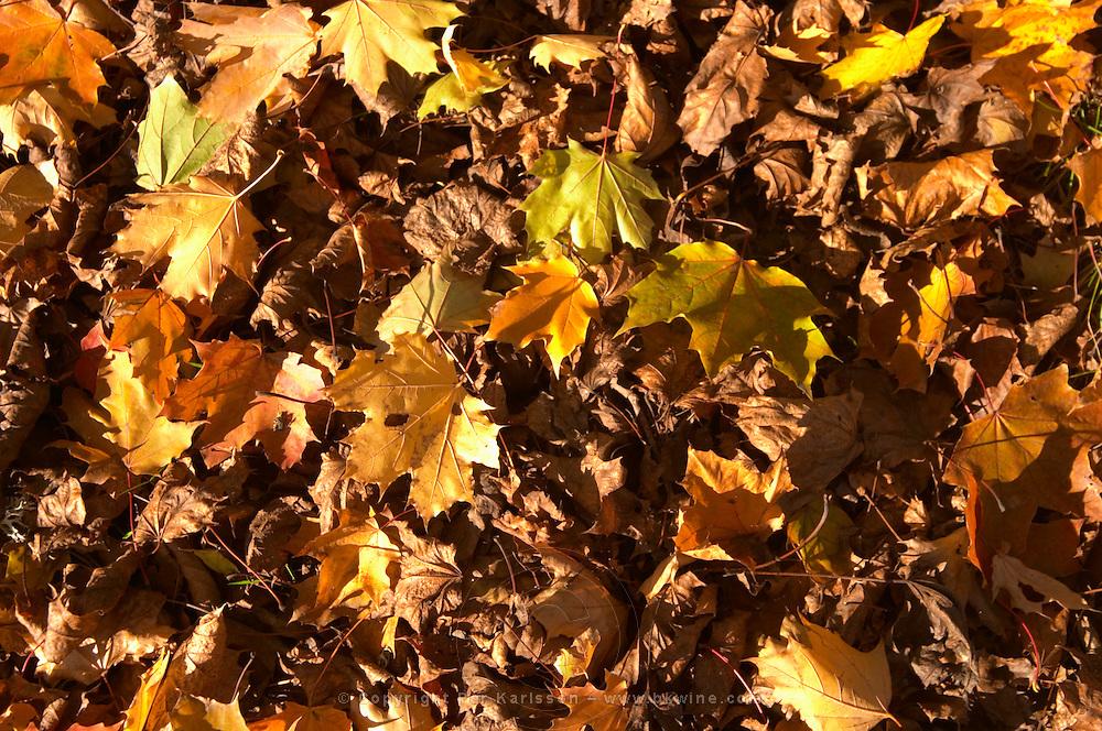 Autumn leaves on the ground in yellow and brown Truffiere de la Bergerie (Truffière) truffles farm Ste Foy de Longas Dordogne France