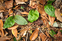 """Two varieties of crane-fly orchids found in Gadsden County, Florida in their fall """"leaf"""" phase. The normal spotted version (Tipularia discolor) is growing here with the green version without spots (Tipularia discolor forma viridifolia)."""