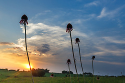 Silhouette of black samson or narrow-leaf coneflowers (Echinacea angustifolia DC.) in Blackland Prairie at Clymer Meadow Preserve, Texas Nature Conservancy, Greenville, Texas, USA.