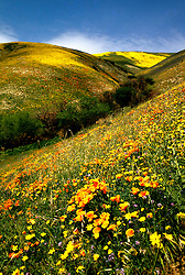 California Desert: Wildflowers on hills near Gorman..Photo copyright Lee Foster, www.fostertravel.com..Photo #: rvdeat101, 510/549-2202, lee@fostertravel.com