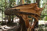 Fallen split tree on Glacier Basin trail, Mount Rainier National Park, Washington