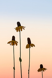 Silhouette of Great coneflower (Rudbeckia maxima Nutt.) on the Daphne Prairie at dusk, a remnant of the Blackland Prairie, Mount Vernon, Texas, USA. Check identification.