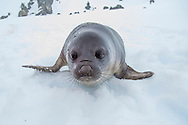 A juvenile elephant seal explores on Snow Island, South Shetlands, Antarctica