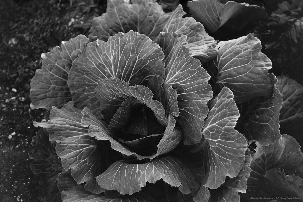 Cabbage, Molln, Austria, 1935