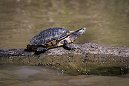 Turtle in the Atchafalaya Basin near the boat launch in Belle River, close to FAS wastewater injection well.