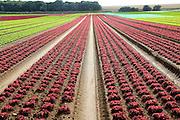 Rows of lettuce crops growing in sandy soil at Alderton, Suffolk, England, UK