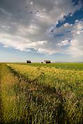 Barns near Lewistown, Montana.