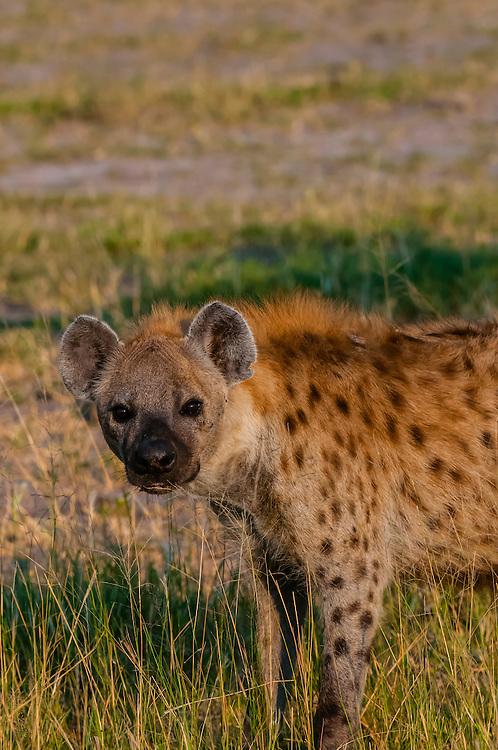Spotted hyena, Kwando Concession, Linyanti Marshes, Botswana.