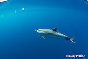 striped dolphin, Stenella coeruleoalba, Pelagos Sanctuary for Mediterranean Marine Mammals, Ligurian Sea, Italy ( Mediterranean Sea )