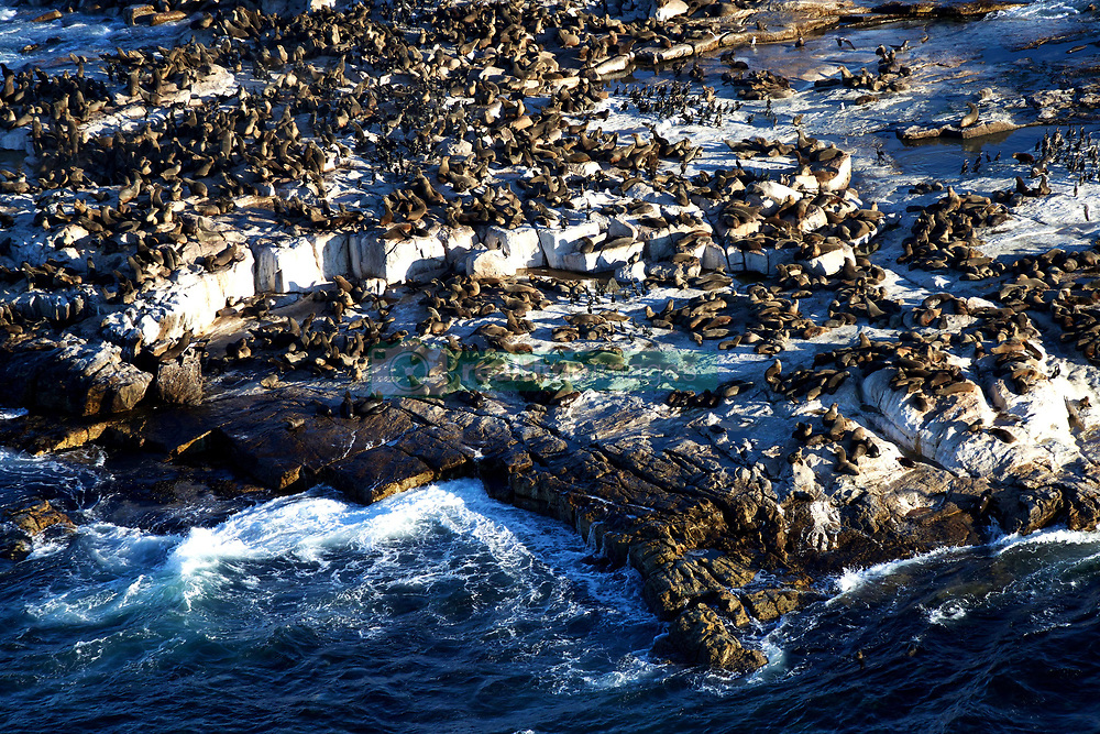 "EXCLUSIVE: The dense population of Cape fur seals July 27, 2017 at this time of year attracts the seal's main predator, the flying Great White Shark. Seal Island and the adjacent waters provide rare opportunities for those who wish to witness attacks by White Sharks on the Cape Fur Seal and to observe social interactions amongst creatures of both species. The island is well known for the way the sharks ambush their prey: a shark launching an attack will come up from underneath and often hurl itself out of the water with the seal in its jaws. It has been shown that if the seals enter the ""Ring of Death"" (where the sharks circle the island) on the surface instead of at the murky bottom, they are more likely to be picked off by the faster and more aggressive Great White Shark. All pictures from an ongoing project by British photographer Dan Callister. 27 Jul 2017 Pictured: Seal Island, False Bay, South Africa. Photo credit: Dan Callister / MEGA TheMegaAgency.com +1 888 505 6342"