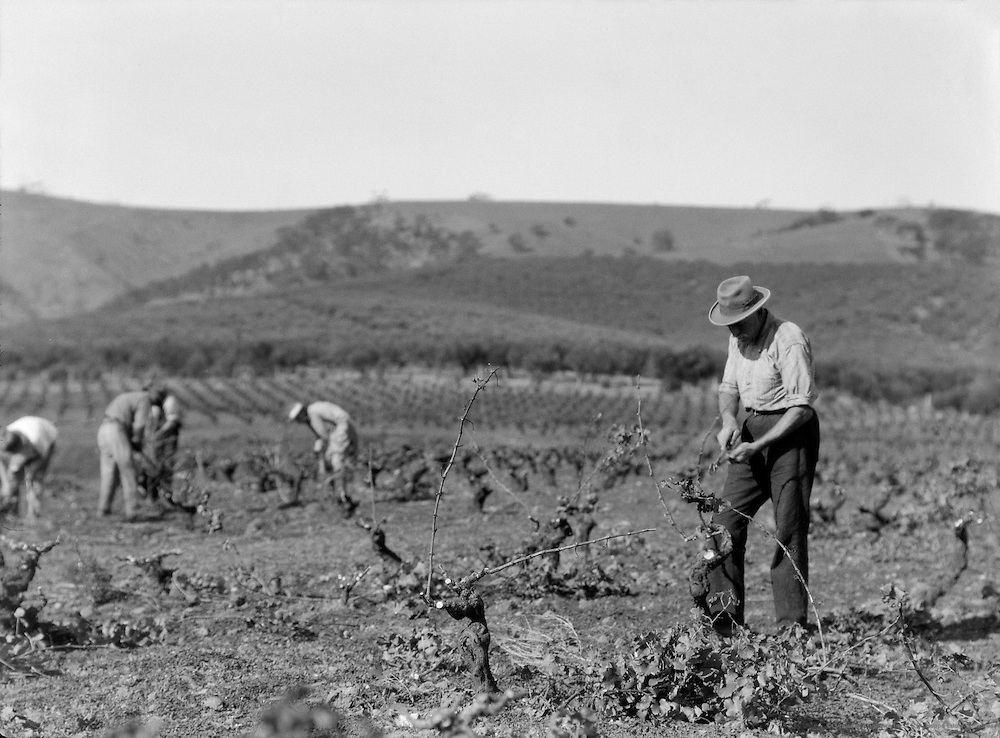 Vineyards, South Australia, 1930