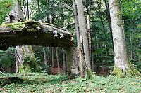 Carpathian Beech Forest, Bieszczady National Park, Poland
