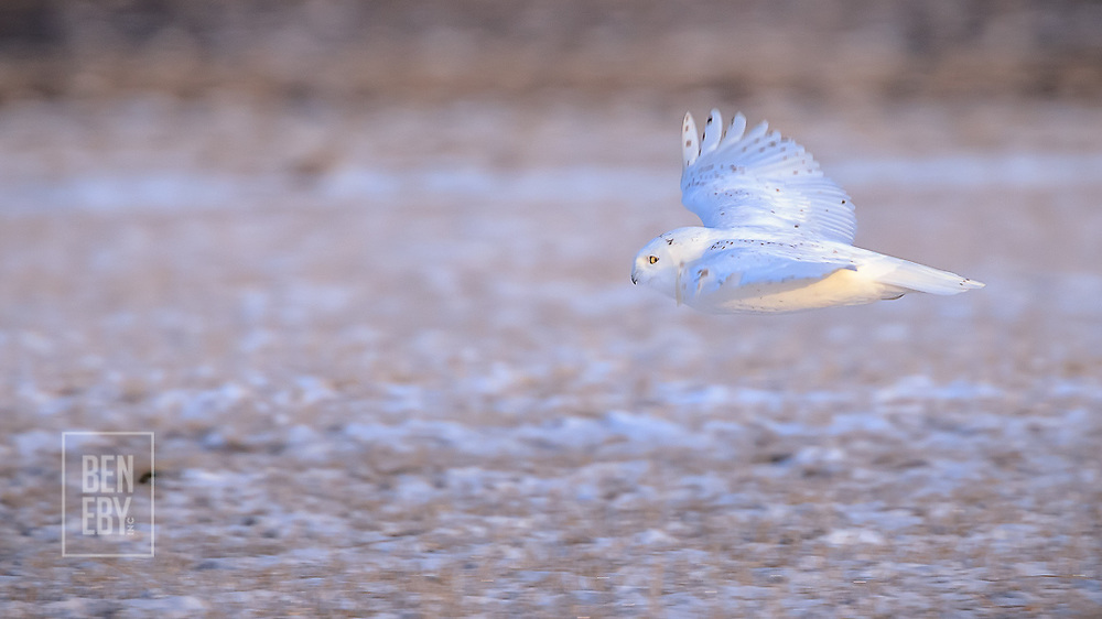 A Snowy Owl photographed early in the morning in Mapleton Township.