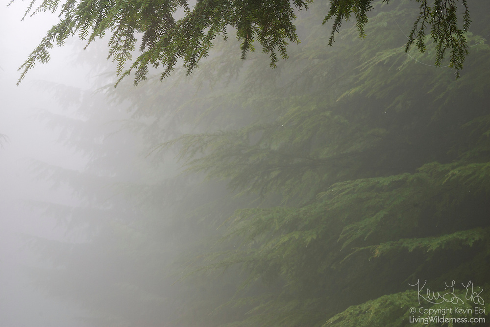 Thick fog obscures some of the evergreen trees growing near the summit of Green Mountain in Washington's Central Cascades.