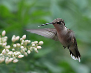 Hummingbird in flight.