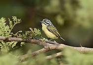 Yellow-fronted Tinkerbird - Pogoniulus chrysoconus