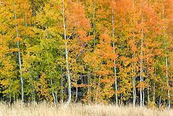 """Autumn Aspens 4"" - Photograph of Aspens in Autumn, shot above Lake Tahoe."