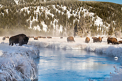 Bison browsing on frosty forage in along the wintry Firehole River in Yellowstone National Park.