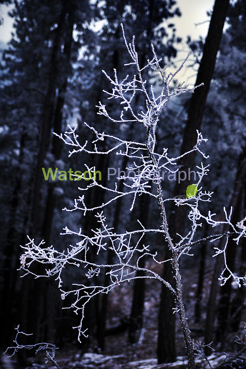 The Dark Frosted Woodlands of Winter