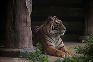 A Sumatran Tiger rest inside the Taman Safari.<br /> The Taman Safari in Bogor. Thousands of wild and nearly extinct animals live on the safari site which features a drive through animal park.<br /> Various scenes of the city of Jakarta in Indonesia.