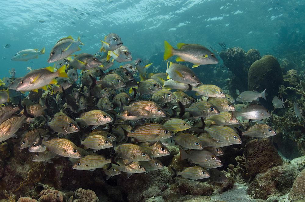 Caesar Grunt (Haemulon carbonarium) & Schoolmaster (Lutjanus apodus)<br /> Hol Chan Marine Reserve<br /> near Ambergris Caye and Caye Caulker<br /> Belize<br /> Central America