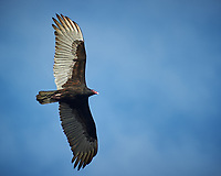 Turkey Vulture soaring. Black Point Wildlife Drive, Merritt Island National Wildlife Refuge. Image taken with a Nikon D3s camera and 70-200mm f/2.8 lens with a 2.0 TC-E III teleconverter (ISO 200, 400 mm, f/5.6, 1/800 sec).