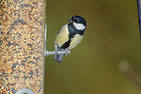 Great Tit (Parus major) at a feeder, Westerham, England: Photo by Peter Llewellyn