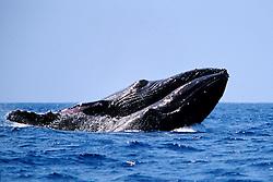 humpback whales, Megaptera novaeangliae, courtship behavior - males? fighting to gain access to female, Big Island, Hawaii, Pacific Ocean